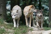 狼顔の異色なバンドグループ、『MAN WITH A MISSION』の正体に迫る!