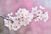 【フジファブリック】メジャーデビューシングルとしてリリースされた「桜の季節」に込められた想いを読み解く